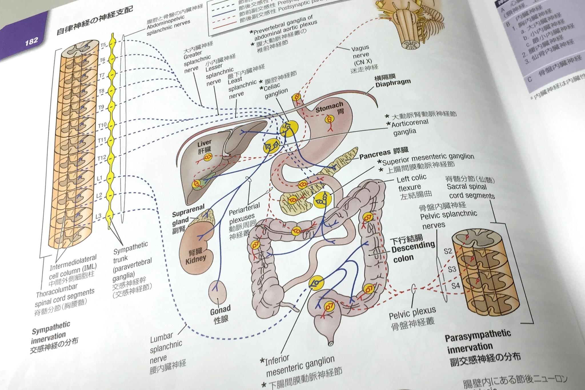腹部の自律神経